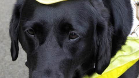 Canine cap