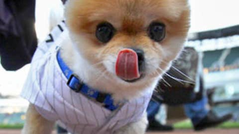 Chicago dog