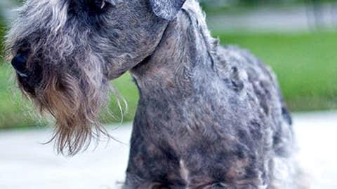 Cesky Terrier