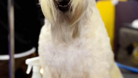 Paisley, a Wheaten terrier