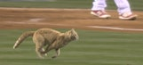 Lightning-quick cat interrupts Angels game to run across the field