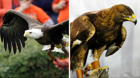 War Eagle - Auburn Tigers