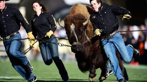 Ralphie - Colorado Buffaloes