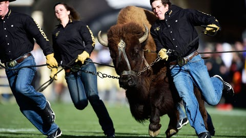 Ralphie - Colorado Buffaloes