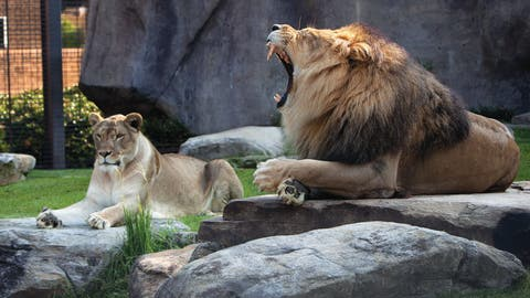Leo III & Una - North Alabama Lions