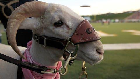 Cam the Ram - Colorado State Rams